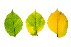 Trois feuilles d'automne de haute résolution d'arbre d'orme sur le blanc Image libre de droits