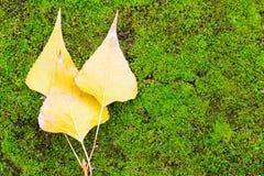 Trois feuilles d'automne jaunes sur un fond vert photos libres de droits