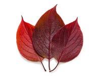 Trois feuilles d'automne sur le fond blanc avec l'ombre Photographie stock