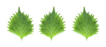 Trois feuilles d'isolement sur un fond blanc photographie stock