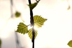 Trois feuilles sur une branche Image libre de droits