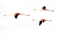 Trois flamants volants d'isolement sur un fond blanc Photo stock