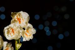 Trois fleurs blanches de jonquille sur le fond noir avec des réflexions Photographie stock