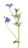 Trois fleurs bleues de petite pensée sur la tige Photo libre de droits