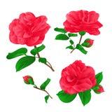Trois fleurs Camellia Japonica avec le vecteur d'aspiration de main de vintage de bourgeons Photos libres de droits