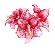 Trois fleurs d'amaryllis Photo stock