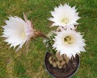 Trois fleurs d'echinopsis Image stock