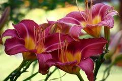 Trois fleurs d'un hemerocallis tout près images libres de droits