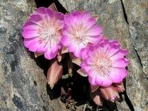 Trois fleurs de Bitterroot dans une crevasse Photographie stock libre de droits