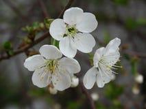 Trois fleurs de cerisier blanches ont fleuri avec des pétales images libres de droits