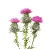 Trois fleurs de chardon Photo libre de droits