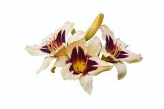 Trois fleurs de daylilies et de bourgeon fermé. Photographie stock libre de droits