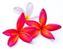 Trois fleurs de Frangipani d'isolement Image libre de droits