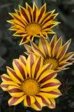 Trois fleurs de Gazania Image libre de droits