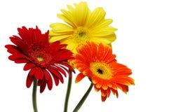 Trois fleurs de gerber Photos stock
