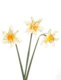 Trois fleurs de jonquille Images stock