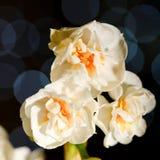 Trois fleurs de jonquille avec des réflexions bleues à l'arrière-plan Photos libres de droits
