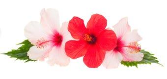 Trois fleurs de ketmie Photographie stock