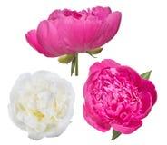Trois fleurs de pivoine d'isolement sur le blanc Images libres de droits