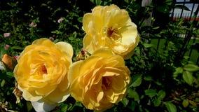 Trois fleurs de rose de jaune se déplaçant le vent clips vidéos