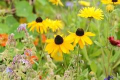 Trois fleurs de rudbeckia avec les pétales jaunes lumineux photographie stock