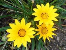Trois fleurs ensoleillées Image stock