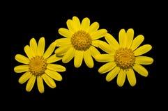 Trois fleurs jaunes Photo stock