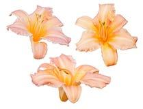 Trois fleurs orange-clair de lis d'isolement sur le blanc Photographie stock libre de droits