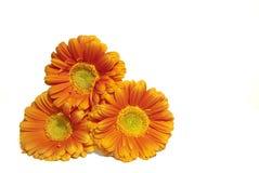 Trois fleurs oranges de gerbera Photo stock