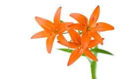 Trois fleurs oranges de lis Photo libre de droits