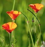 Trois fleurs oranges de pavot sur le fond vert Photo stock