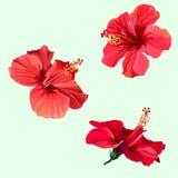 Trois fleurs rouges de ketmie Image stock