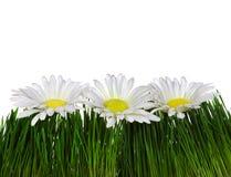 Trois fleurs sur l'herbe Photographie stock