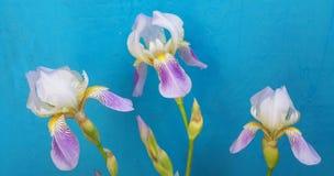 Trois fleurs tendres d'iris avec des bourgeons sur le fond bleu Plan rapproché Image libre de droits