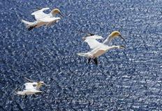 Trois fous de Bassan sur Heligoland pendant l'élevage assaisonnent, la Mer du Nord Photographie stock