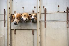 Trois fox-hounds photographie stock