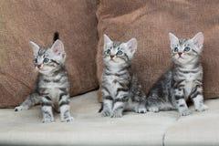 Trois frères de chaton Images libres de droits