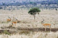 Trois gazelles mâles, un arbre Photographie stock