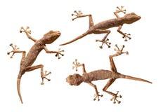 Trois geckos d'isolement au-dessus du whi Photo stock