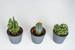 Trois genres de cactus verts sur un fond gris r photo stock