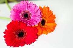 Trois gerberas colorés photos stock