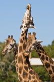 Trois girafes jouant ensemble Images libres de droits