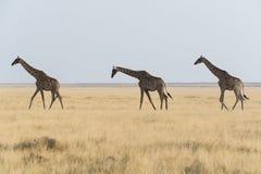 Trois giraffes Photos libres de droits