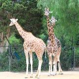 Trois giraffes Image libre de droits