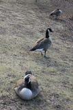 Trois Gooses tournant au ralenti sur la banque de lac dans le Central Park, New York Image libre de droits