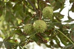 Trois graines de marron d'Inde accrochant sur l'arbre Image libre de droits