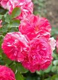Trois grandes belles fleurs de se sont levées Image libre de droits