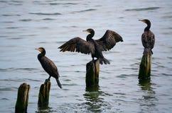 Trois grands cormorans Image libre de droits