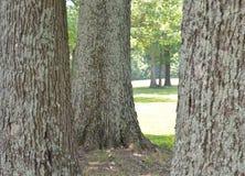 Trois grands troncs d'arbre moussus devant un chemin images stock
