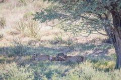 Trois guépards alimentant sur une mise à mort de springbok photo libre de droits